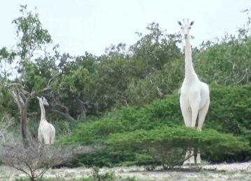 jirafa blanca