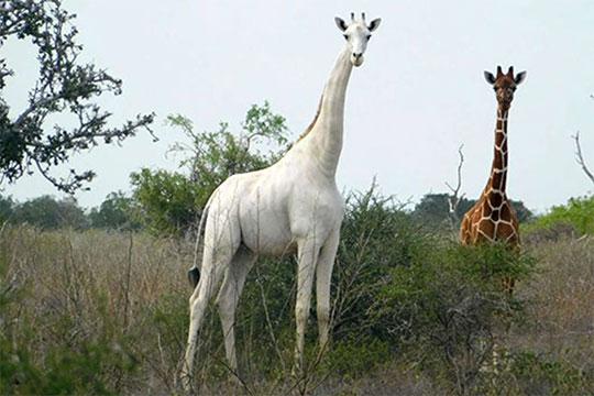 jirafa blanca en Kenia